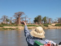 Great Baobabs seen from the Mangoky river in Madagascar