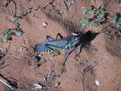 Colorful grasshopper in dry forest near Ifaty in Madagascar